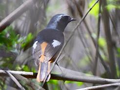 Daurian Redstart a rare bird for Bhutan seen on our birding tour in Bhutan from Zhemgang road