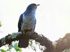 Eurasian Cuckoo from Bhutan seen on our Bhutan birding tour with Langur Eco travels