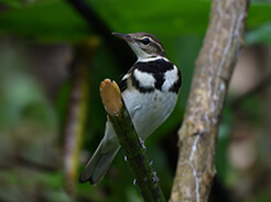 Forest Wagtail in Bhutan a rare species in Bhutan