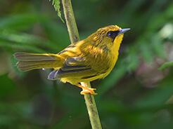 Golden Babbler from the forest of Yongkola the best birding place in Bhutan