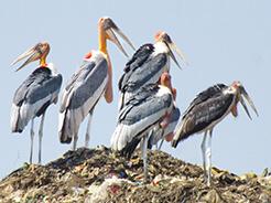 Greater Adjutant in Guwahati dump site birding