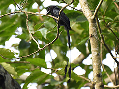 Greater Racket-tailed Drongo from Manas NP in Bhutan