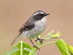 Grey Bushchat from birding in Bhutan tour