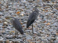 Grey Heron seen at Punakha on our Bhutan birding tour with Langur Eco Travels