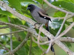 Grey Treepie from Punakha in Bhutan from our Birding trip to Himalayas