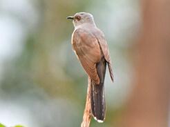 Grey-bellied Cuckoo from Manas national Park, Bhutan