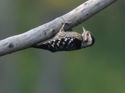 Grey-capped Pygmy Woodpecker from Lingmethang road in eastern Bhutan