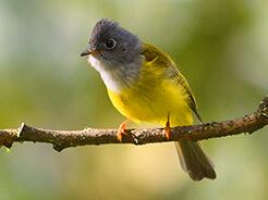 Grey-headed Canary Flycatcher from birding in Bhutan
