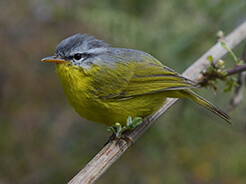 Grey-hooded Warbler from Punakha in Bhutan