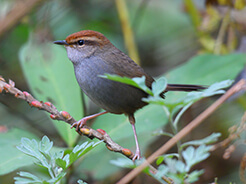 Grey-sided Bush Warbler from the bushes of Pele la pass