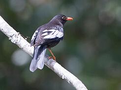 Grey-winged Blackbird from birding trip in Bhutan