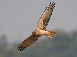 Hen Harrier from Phobjikha valley in Bhutan seen on Langur Eco Travels Bhutan birding holiday