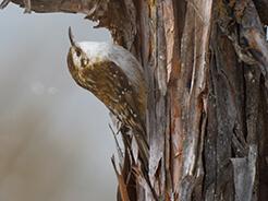 Hodgson's Treecreeper from Chelela bird watching