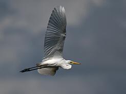 Intermediate Egret in Bhutan birding tours with Langur Eco travels