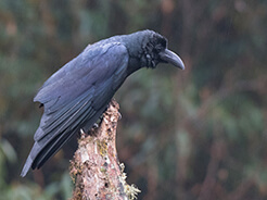 Large-billed Crow a common bird in Bhutan on our birding tours to the himalayan kingdom of Bhutan