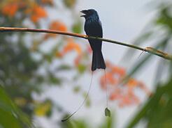 Lesser Racket-tailed Drongo seen at Yongkola Bhutan bird watching tour