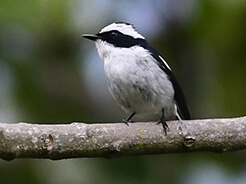 Little Pied Flycatcher from Morong valley