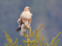 Long-legged Buzzard from Ura valley in Bhutan recorded on our Bhutan birding tour