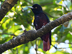 Maroon Oriole in Bhutan on our bird watching visit