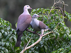 Mountain Imperial Pigeon, birding in Tingtibi manas national park