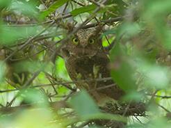 Mountain Scops Owl seen at yongkola in eastern Bhutan.