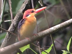 Oriental Dwarf Kingfisher, seen at Panbang Manas National Park in Bhutan
