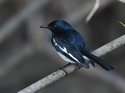 Oriental Magpie Robin a common species in Bhutan during your bird watching holiday