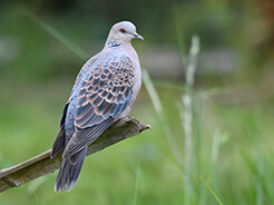 Oriental Turtle Dove from Bhutan
