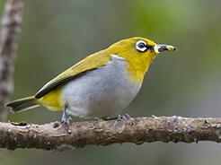 Oriental White-eye common bird in Bhutan