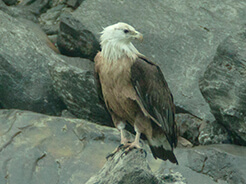 Pallas's Fish Eagle at Pho Chhu valley in Punakha with langur eco Travels