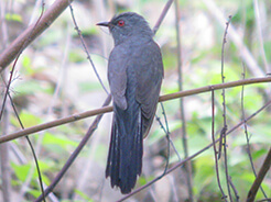 Plaintive Cuckoo seen at Gomphu road on our Bhutan bird watching tour with Langur Eco travels
