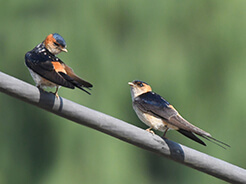 Red-rumped Swallow from our Bhutan birding tour