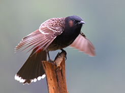 Red-vented Bulbul in Bhutan with langur Eco Travels
