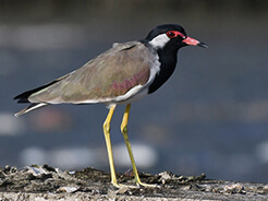 Red-wattled Lapwing from Punakha valley