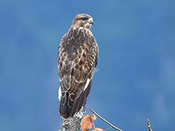 Upland Buzzard seen at Phobjikha valley in Bhutan on our birding tour to Bhutan