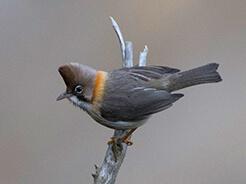 Whiskered Yuhina common bird on your Bhutan bird watching tour