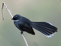 White-throated Fantail from Bhutan