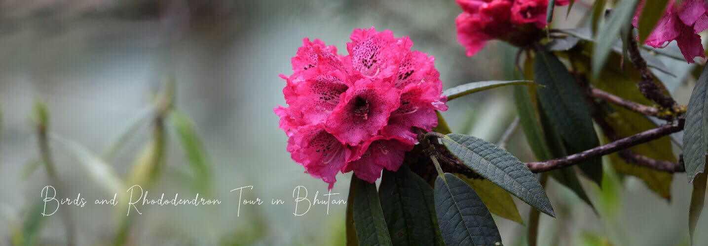 Rhododendron tour in Bhutan during spring time with langur eco travels