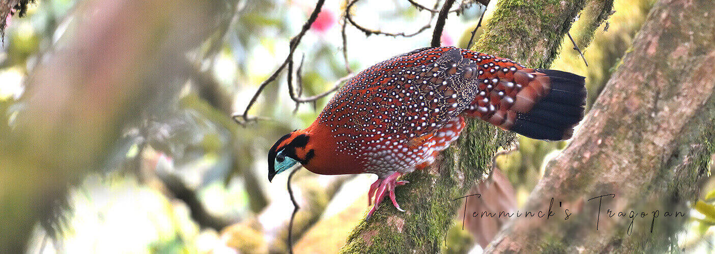 Temminck's Tragopan is one of the most special birds found in Bhutan