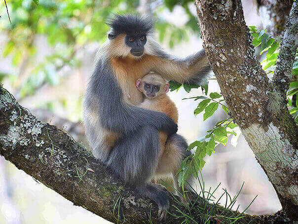 Capped Langur birds and mammal photography tour in Bhutan