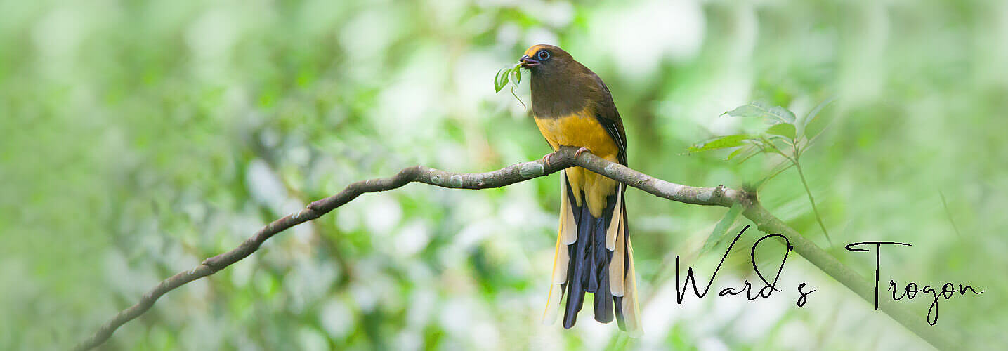Wards Trogon female-best birding and culturaltour in Bhutan with Langur Eco travels