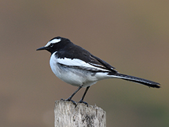 White-browed Wagtail seen on our 7 day visit to Bhutan with Langur Eco Travels your best birding guides in Bhutan