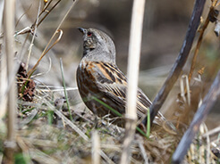 Altai Accentor on our winter tour to Bhutan