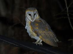 Barn Owl seen at Paro town in Bhutan