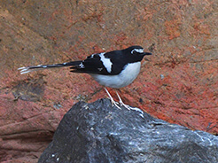 Black-backed Forktail from south eastern Bhutan
