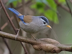 Blue-winged Minla from Morong valley