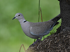 Eurasian Collared Dove from birding in Gelephu Bhutan