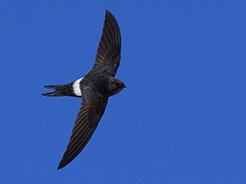Fork-tailed Swift from Trongsa in Bhutan