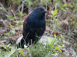 Greater Coucal from Phuntsholing the commercial town of Bhutan