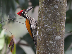 Greater Goldenback previously known as greater flameback